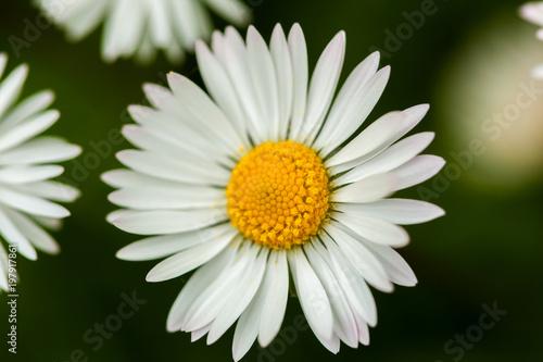 Macro of a daisy - 197917861