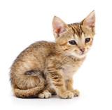 Small brown kitten.