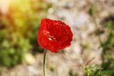 Beautiful poppies in spring with beautiful bokeh, close up