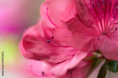 Fotobehang Azalea Blur azalea background