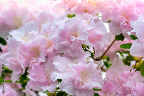 In de dag Azalea Pink azalea background