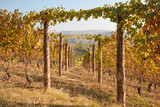 Vineyard in autumn, vine rows with wooden poles in a sunny day, vanishing point