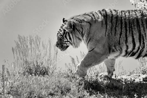 Tygrys idący wzdłuż brzegu nad jeziorem; Rezerwat dzikiej przyrody; Colorado