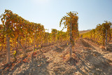 Vineyard in autumn with yellow leaves in a sunny day