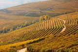 Vineyards with yellow and brown leaves and path in autumn in a sunny day in Italy