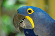 Hyacinth McCaw parrot in the Florida Keys