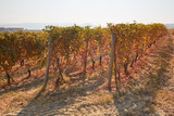 Vineyard in autumn with yellow, brown and red leaves in a sunny day