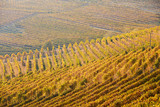 Vineyards with yellow leaves in a sunny fall day
