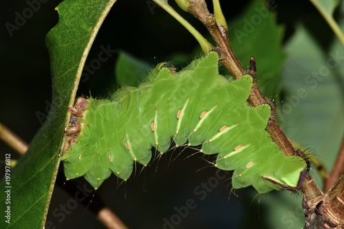 A large Polyphemus caterpillar (Antheraea polyphemus) in its late instar stage is  busy feeding upon oak leaves during the night hours Poster