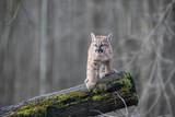 Puma Cub Animal