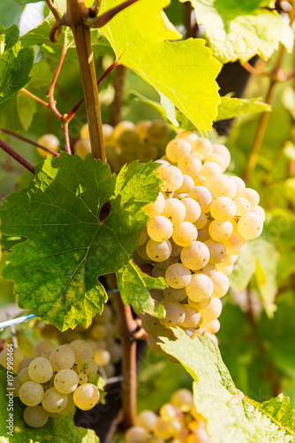Plexiglas Geel Ripe grapes in fall in Alsace, France