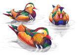 Hand-drawn mandarin ducks on white background (isolated)
