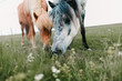 close-up view of beautiful icelandic horses grazing on green pasture