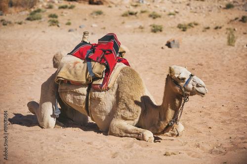 Fototapeta Camel side view. Desert animal.