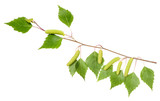 Birch branch with aments