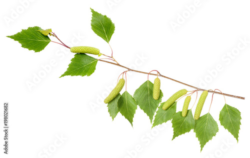 Birch branch with aments - 198021682