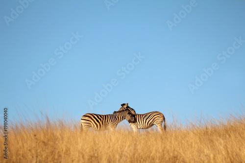Zebras in the African bush