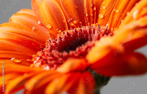 Fototapety, obrazy : Gerbera flower with drops of water