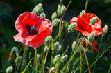Red poppy flowers, Papaver rhoeas. Bright flowers in a field of canary grass, brightly lit with dark background.