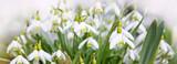Snowdrop flowers and sunshine.