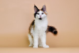 tri-color kitty maine coon on a beige background