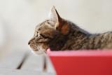 chat tigré dans boîte en carton rouge