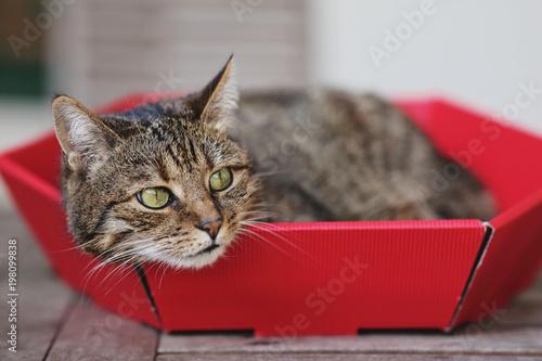 pręgowany kot w czerwonym tekturowym pudełku