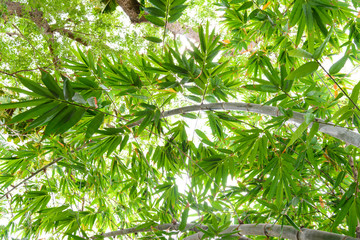 Green leaves of bamboo in forest from below. Low angle view background