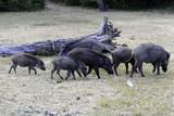 Indische Wildschweine ( Sus scrofa cristatus ) in einem kleinen Tierpark,  Nähe Mysore, Karnataka, Südindien, Indien, Asien
