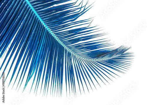 Foto Murales palme bleue de cocotier, fond blanc