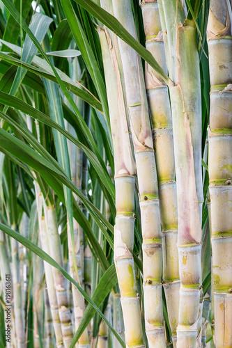 Fotobehang Bamboe Sugar cane in the garden for consumption.