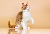 red Maine Coon kitten on a beige background