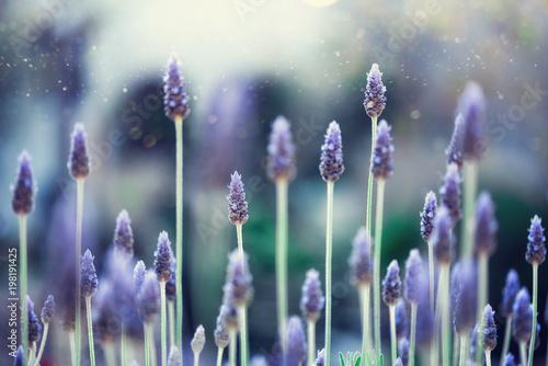 Zdjęcia na płótnie, fototapety na wymiar, obrazy na ścianę : Lavender plant field. Lavandula angustifolia flower. Blooming violet wild flowers background with copy space. Selective focus. Blossom and magic spring concept.