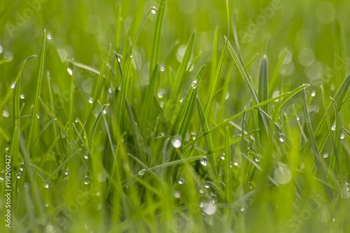 Fotobehang Gras Morning drops of dew on green grass