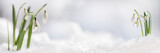 Snowdrop flowers (Galanthus nivalis) growing out of the snow, panoramic banner format with copy space in the center
