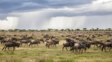 Wildebeest migration in the wet season in the Serengeti National Park in Tanzania