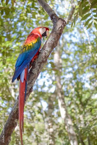 Plexiglas Papegaai Red Macaw