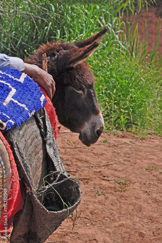 Foto op Plexiglas Marokko The brown donkey with its owner is waiting for the tourists.Morocco, Africa.