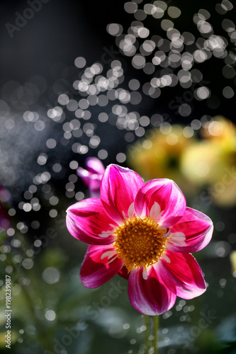 Dalia is a beautiful and colorful flower