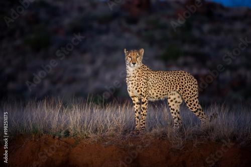 gepard-w-swietle-reflektorow-podczas-jazdy-noca-w-tiger