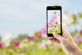 Taking pictures cosmos flower with mobile smart phone in the nature background