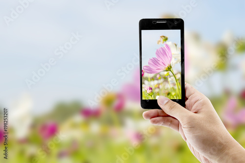 Taking pictures cosmos flower with mobile smart phone in the nature background - 198253207