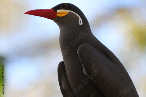 Fotobehang Pinguin Portrait of an Inca Tern from South America