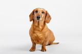adorable small dog Dachshund