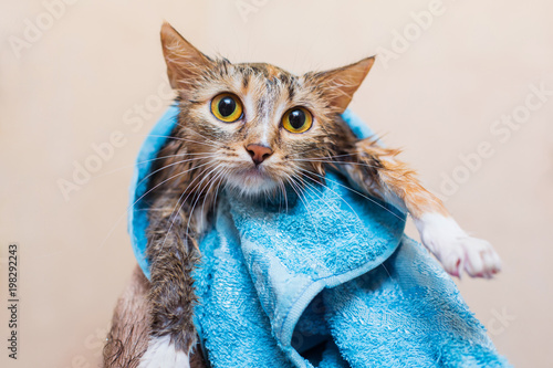 A cat after bathing in a towel - 198292243