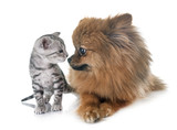 Fototapeta bengal kitten and pomeranian