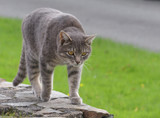 A pale gray tabby cat with golden eyes walking atop a low stone wall