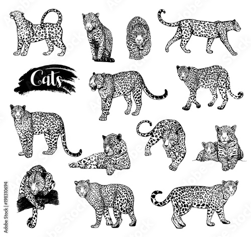 Fototapeta Big set of hand drawn sketch style leopards isolated on white background. Vector illustration.