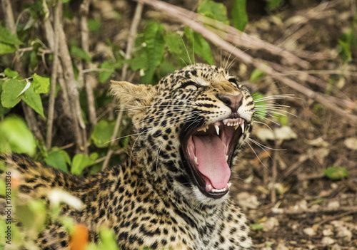Leopard showing his teeth Poster