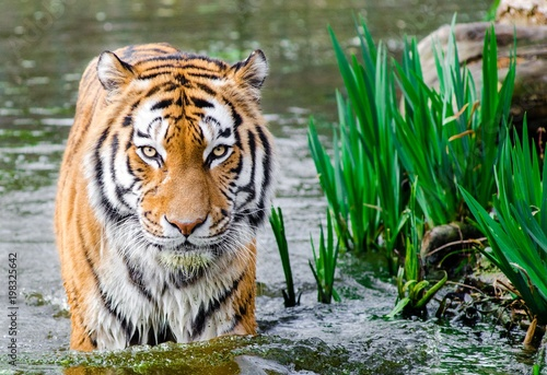 Plexiglas Tijger One of many great free stock photos. This photo is about wild, wild animal, wildlife